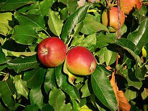Gala (apple) - Fruit and leaf detail