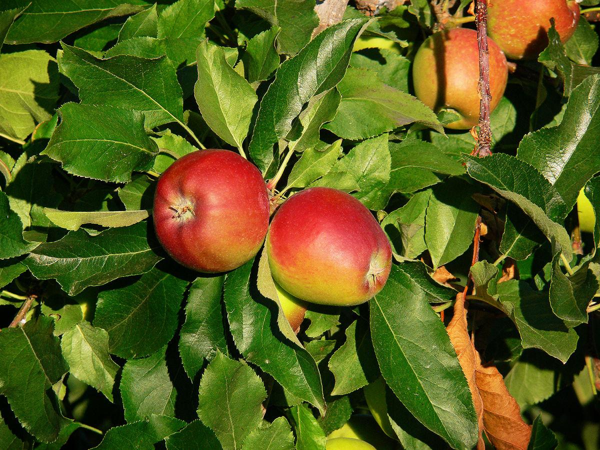 nombre cientifico de la manzana fuji