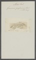 Gammarus grossimanus - - Print - Iconographia Zoologica - Special Collections University of Amsterdam - UBAINV0274 098 02 0017.tif