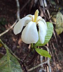 220px-Gardenia_gummifera.jpg