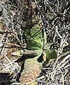 Gasteria disticha - Ashton Western Cape 3.jpg