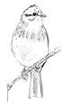 Geelgors Emberiza citrinella Jos Zwarts 2.tif