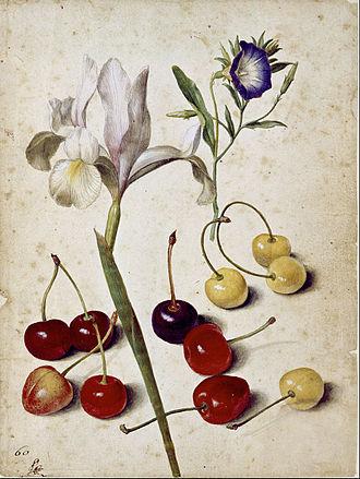 "Georg Flegel - ""Still life with  Spanish iris, morning glory, and cherries"" by Georg Flegel."