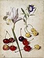 Georg Flegel - Spanish iris, morning glory, and cherries - Google Art Project.jpg