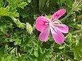 Geraniales - Pelargonium capitatum - 2.jpg
