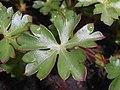 Geranium dalmaticum 2017-05-07 0044b.jpg