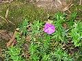 Geranium sanguineum001.jpg