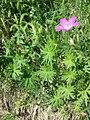 Geranium sanguineum sl15.jpg