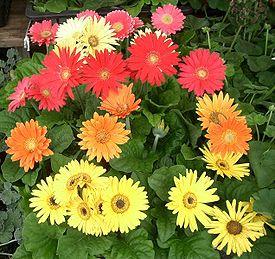 Цветки герберы различной окраски