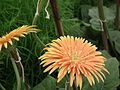 Gerbera from Lalbagh flower show Aug 2013 7966.JPG
