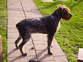 German Wirehaired Pointer.JPG