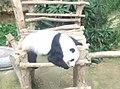 Giant Panda Conservation Centre in Zoo Negara Malaysia 2021 (4).jpg