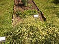 Giardino botanico di Brera (Milan) 156.jpg