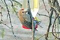 Gila Woodpecker (Melanerpes uropygialis) male.jpg