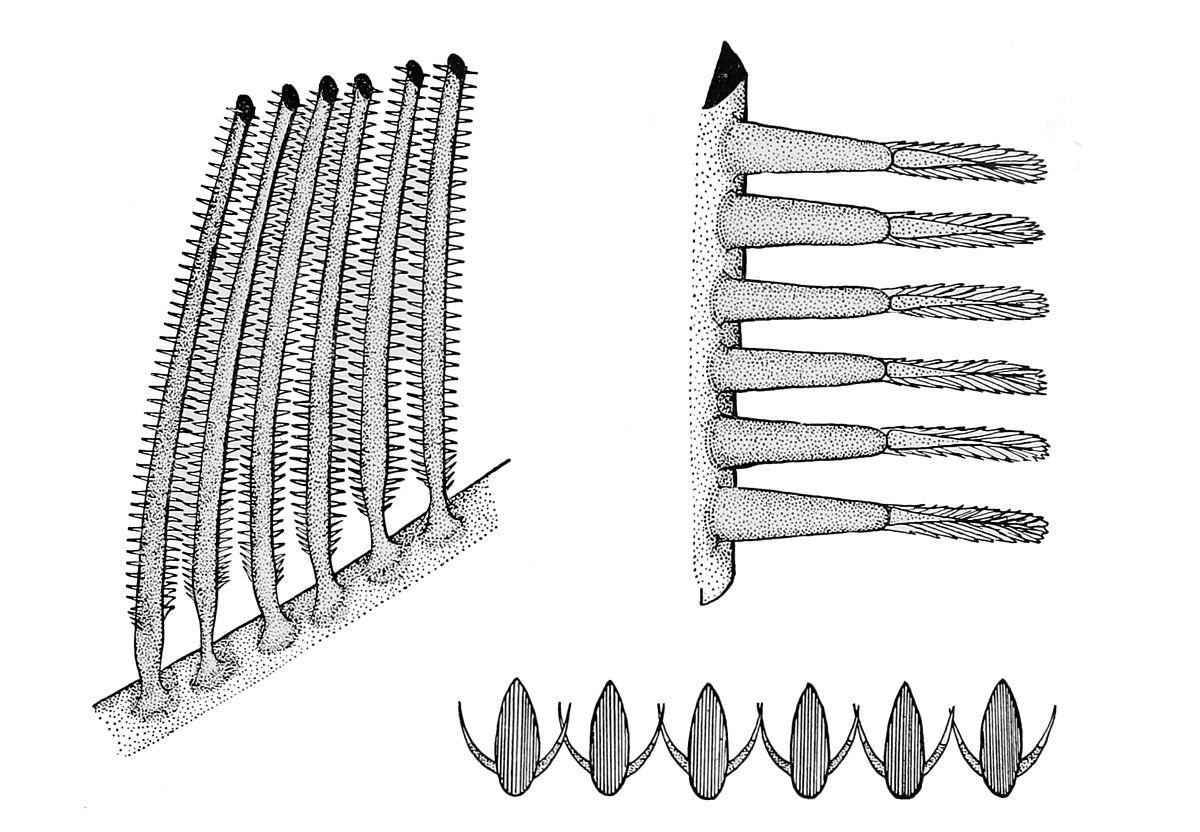 basking shark diagram