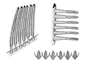 Gill raker - Image: Gills 2
