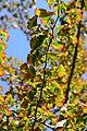 Gingko Biloba Leaves in September.JPG