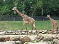 Giraffe (5756127053).jpg