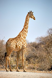 Giraffe 2019-07-28.jpg