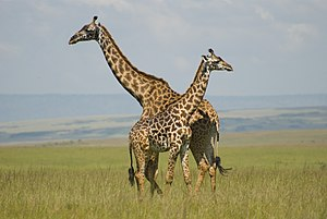 Maasai Mara - Giraffes on the open grassland