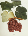 Goethe (grape) illustration from The Grapes of New York 1908.png