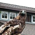 Golden Eagle (2317651296).jpg