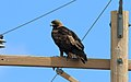 Golden Eagle (Aquila chrysaetos) (25796411988).jpg