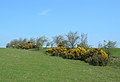 Golden Gorse - geograph.org.uk - 400337.jpg