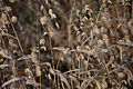 Golden headed grasses bob in the breeze.jpg