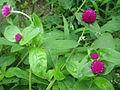 Gomphrena globosa NP 01.jpg