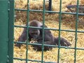 File:Gorilla-Mothers-Also-Matter-New-Insights-on-Social-Transmission-in-Gorillas-(Gorilla-gorilla-pone.0079600.s001.ogv