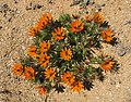 Gorteria diffusa (Beetle Daisy) - Asteraceae (4086818925).jpg