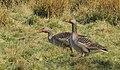 Grågås Greylag Goose (13644249664).jpg