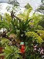 Grammatophyllumcitrinumjf9183 03.JPG