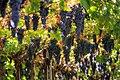 Grapes growing in Valpolicella.jpg