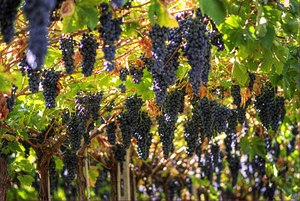 English: Grapes growing in the Italian wine re...