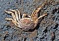 Grapsus grapsus (Sally lightfoot crab) (San Salvador Island, Bahamas) 2 (15845282929).jpg