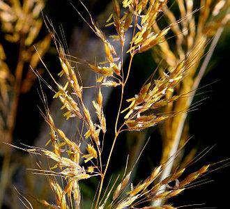Poaceae - Grass flowers