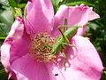 Grasshopper in a Rosa rugosa flower.jpg