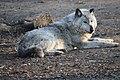 Grauer Wolf (33006122721).jpg