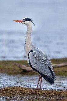 Graureiher Grey Heron.jpg