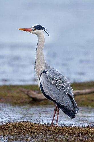 Grey heron - Image: Graureiher Grey Heron