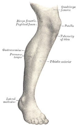 Tibialis anterior muscle wikipedia lateral aspect of right leg ccuart Image collections