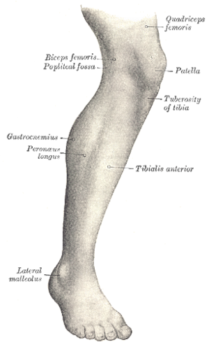 Tibialis anterior muscle - Lateral aspect of right leg.