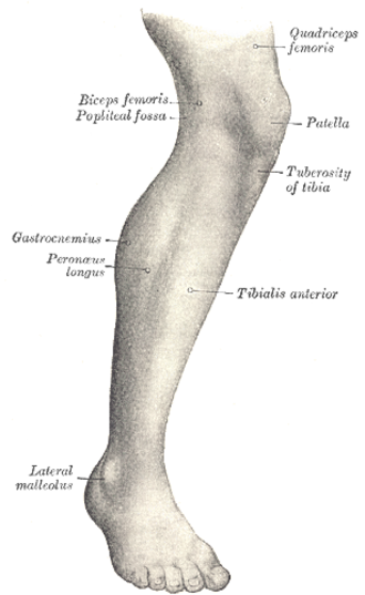 Tuberosity of the tibia - Lateral aspect of right leg. (Tuberosity of tibia labeled at center right.)