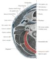 Gray384 Semispinalis capitis.png