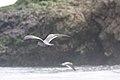 Gray Gull (Larus modestus) (4856932492).jpg