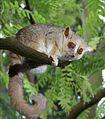 Gray Mouse Lemur 1 edit.JPG