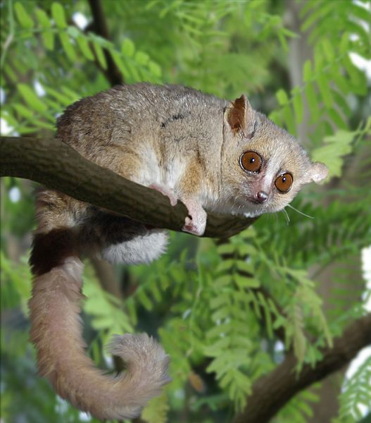 קובץ:Gray Mouse Lemur 1 edit.JPG