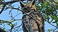 Great Horned Owl (8436596336).jpg